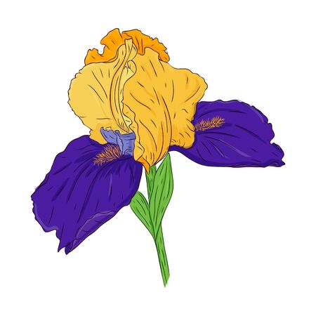 Blooming iris flower. Bright color spring Botanical illustration. Hand drawn and isolated on white. Vector. Blooming Bud on the stem. Floral design for postcards, invitations, wedding decorations