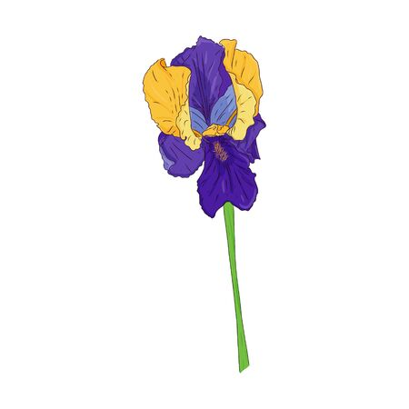 Blooming Iris. Blooming Bud on the stem. Color Botanical illustration. Hand drawn and isolated on white. Vector. Floral design for postcards, invitations, wedding decorations. Ilustracja