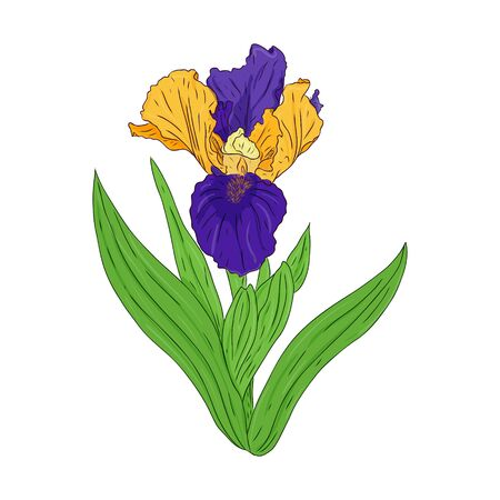 Blooming Iris. Blooming Bud on a stem with leaves. Color Botanical illustration. Hand drawn and isolated on a white background. Vector. Floral design for postcards, invitations Ilustracja