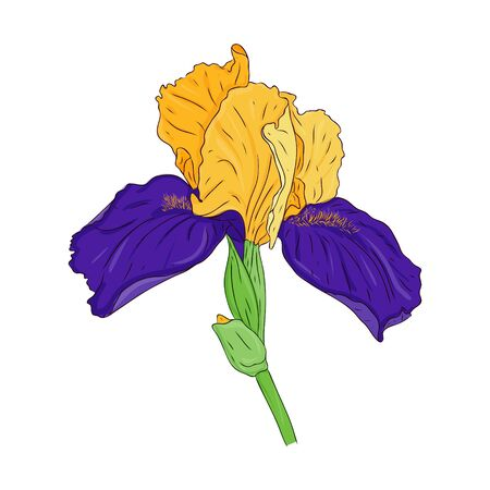 Blooming iris flower. Blooming Bud on the stem. Color spring Botanical illustration. Hand drawn and isolated on white. Vector. Floral design for postcards, invitations, wedding decorations.