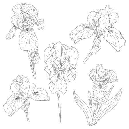 Set of blooming iris flowers. Collection of colors with texture in the outline style. Sketch for the design of cards and invitations. Black-white Botanical vector. Drawn by hand and isolated on white Ilustracja