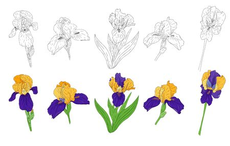 Collection of Blooming Iris flowers. Bright color spring Botanical illustration. Hand drawn and isolated on a white background. Vector. Set of iris buds on the stem. Floral design. Coloring book. Ilustracja