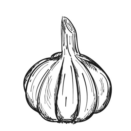 The head of garlic in the husk. Doodle style. The vegetable is drawn by hand and isolated on a white background. For menu design, recipes, and food packaging. Black and white vector illustration Ilustracja