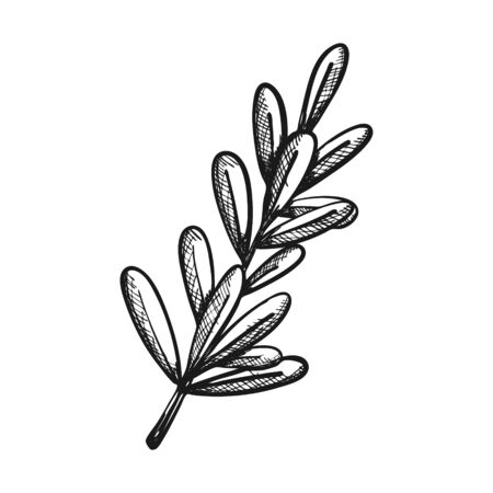 Twig with leaves. Sage as a seasoning in cooking. Botanical decoration for menu design, recipes, food packaging. Hand drawn and isolated on a white background. Black and white vector illustration.
