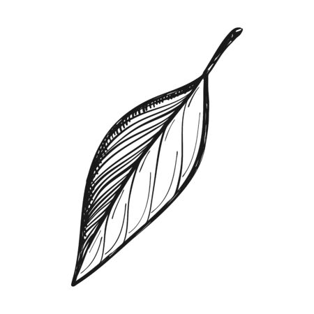 Bay leaf. Seasoning for cooking, cooking. Doodle style. Drawn by hand and isolated on a white background. For menu design, recipes, and food packaging. Black and white vector illustration
