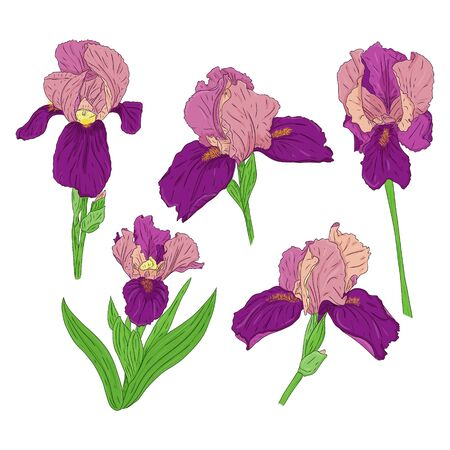 Collection of Blooming Iris flowers. Bright color spring Botanical illustration. Hand drawn and isolated on a white background. Vector. Set of iris buds on the stem. Floral design.