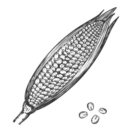 A ripe ear of corn. Sketch of corn with leaves and corn kernels in Doodle style.for the design of packaging for food, recipes and menu. Hand drawn and isolated on a white background.Black-white vector Ilustracja