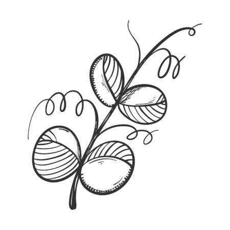 The leaves of green peas. Sketch for menu design, recipes, and packaging.A branch with leaves and tendrils drawn by hand and isolated on white.Black-white vector. Botanical illustration. Doodle style. Ilustracja