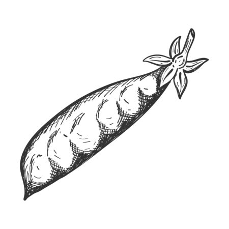 Pea pod. Doodle style. Sketch of a legume plant. Closed pod with peas inside. Hand-drawn, isolated on a white background. Black and white vector. for decorating menus, recipes, and food packages. Ilustracja