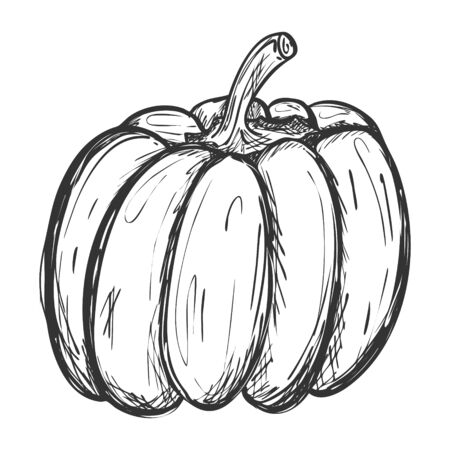Sketch of a whole pumpkin. Doodle style. Drawing of a ripe pumpkin with hatching. Hand drawn and isolated on white. Can be used for thanksgiving, recipes, menus, harvest festivals. Symbol of fertility