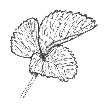 Sketch of strawberry leaves. Strawberry leaves are hand drawn and isolated on a white background. Black and white vector illustration. Pencil drawing Çizim