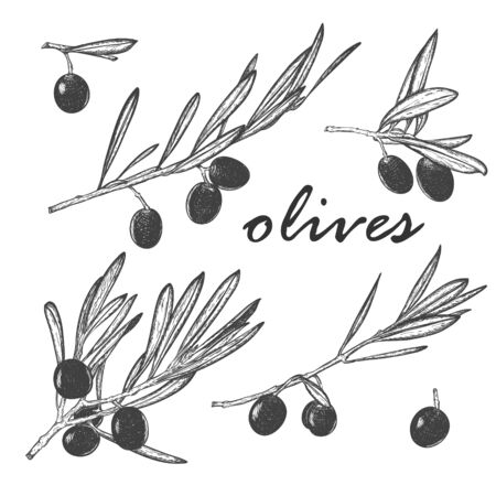 A set of isolated olive branches with berries and leaves. For packaging olive oil and natural cosmetics. Eco-product. Hand drawn and isolated on a white background.Black and white vector illustration.