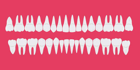 Healthy white human teeth in a row. Beautiful, even teeth with roots. Infographic elements for dentists and orthodontists. A flat-style banner. Isolated on a red background. Vector illustration