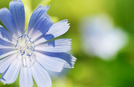 chicory flower: Floral background with blue chicory flower
