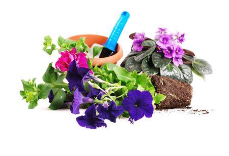Petunias and violets flowers with garden tools on white background photo