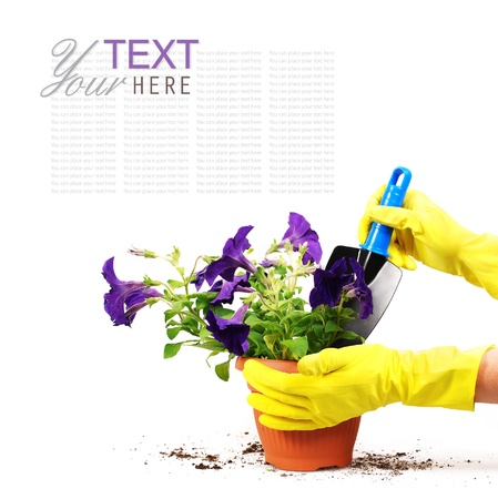 gardening gloves: Petunias flowers in spot with woman hand and garden shovel
