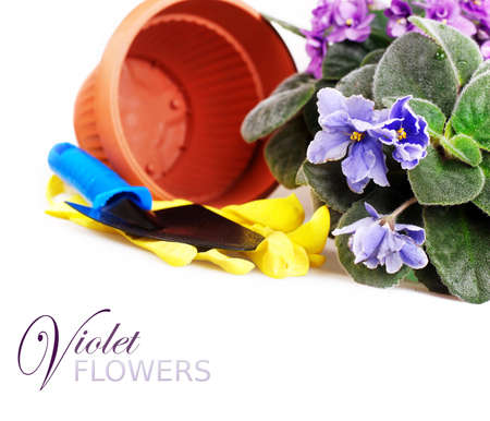 White background with african violet and gardening tools photo