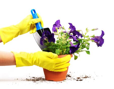 petunias: Background with Woman hand and petunias in flowerpot Stock Photo