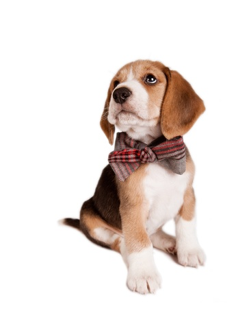 Sitting beagle puppy with bow tie on white background photo