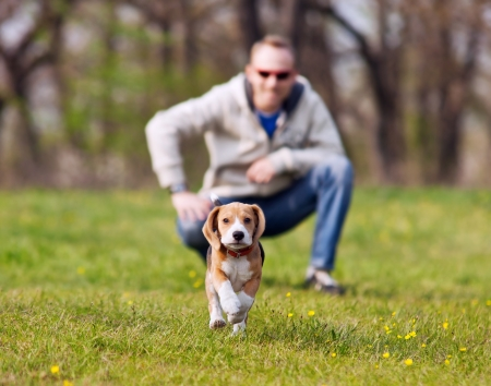 spring training: Running beagle puppy with his master on the walk
