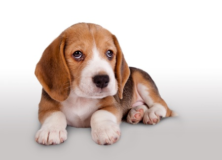 Cute tiny beagle puppy portrait photo