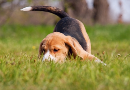 Beagle puppy in playing pose at the green meadow photo