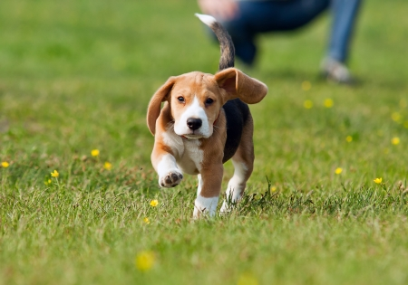 spring training: Running beagle puppy with flying ears at the walk
