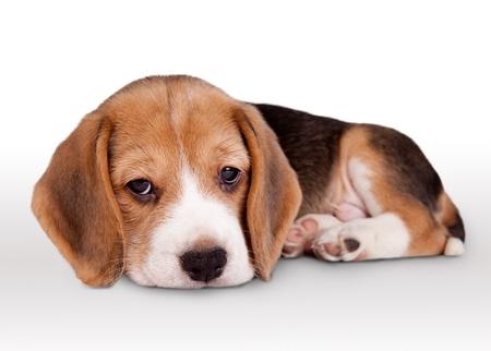 pitiful: Lying tiny beagle puppy wit pitiful eyes