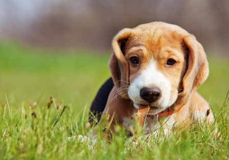 beagle: Cute little beagle puppy playing in green grass
