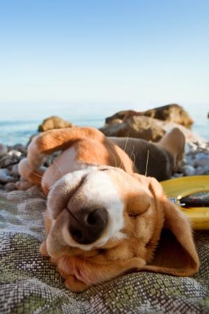 perezoso: Solarium cachorro beagle retrato miente en la costa del mar
