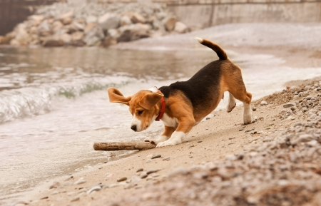 Beagle puppy playing with the stick st the sea side photo