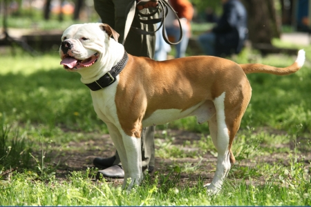 pure blooded: American Staffordshire Terrier