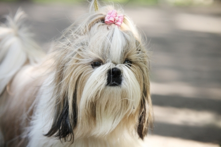 shih: Shih Tzu Dog portrait Stock Photo