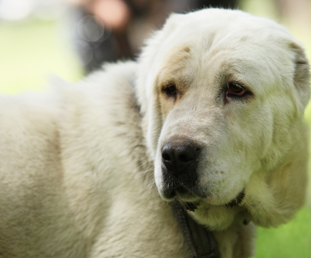 kampfhund: Zentral Ovtcharka