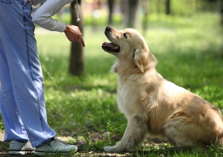 Or processus de formation en plein air de chien d'arrêt Banque d'images - 20324959