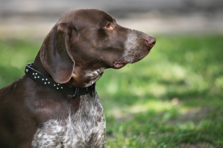 German Shorthaired Pointer  Kurzhaar  portrait Stock Photo - 20324066
