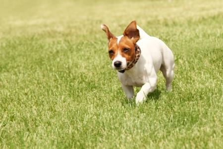 dog park: Running Jack Russell Terrier