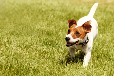 dogs play: Running Jack Russell Terrier