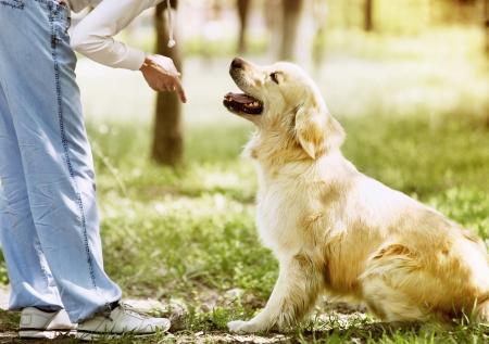 obedience: Proceso de entrenamiento al aire libre Golden Retriever