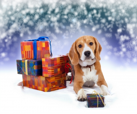 Young beagle with presents christmas background photo