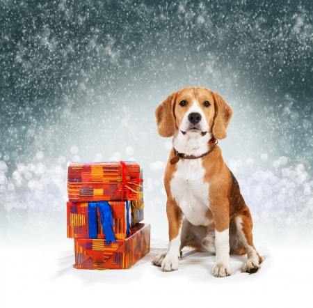 Young beagle with presents christmas  photo
