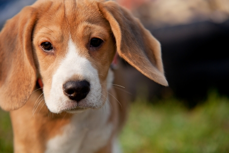 pitiful: Beagle puppy with pitiful eyes outdoor portrait Stock Photo