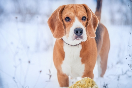 Cute beagle winter outdoor portrait photo
