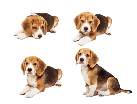 beagle: Cute beagle puppy in diverse poses