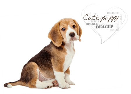 Adorable little beagle puppy on white  photo