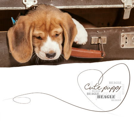 came: Little beagle puppy came out from old suitcase