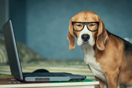perros graciosos: Perro beagle soñoliento en vidrios divertidos cerca de la computadora portátil