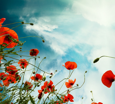Sky background with red poppies flowers photo