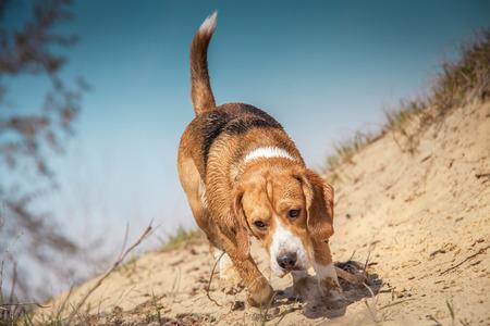 Beagle dog walking on the wild nature Stock Photo - 27499854