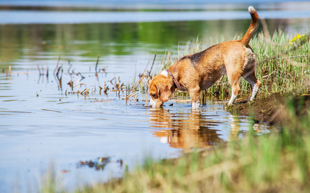 Beagle drinks water from the forest pond Stock Photo - 27929854